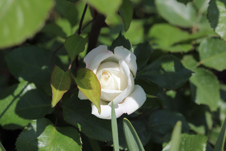 トランクウィリティー:純白の花びらの美しいERが、庭先での一番開花に!